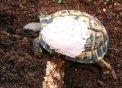Tortuga recuperant-se d'una rotura de la closca
