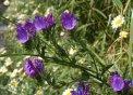 Lengua bovina (Echium plantagineum)