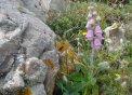 La didalera, una planta endèmica que ara està en plena floració
