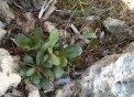 Coca marina Limonium artruchium, una planta exclusiva de Menorca