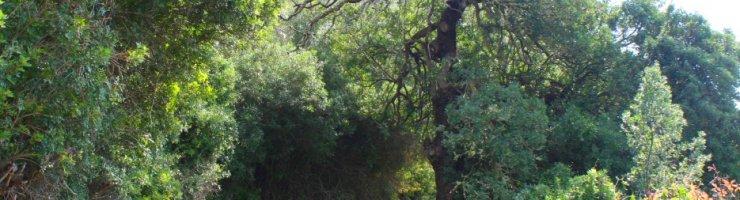 Llentrisca de Torralbenc, catalogada com a arbre singular per la seva gran mida