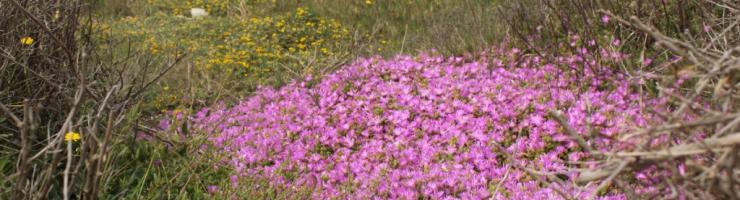 Disphyma invadint les plantes autòctones