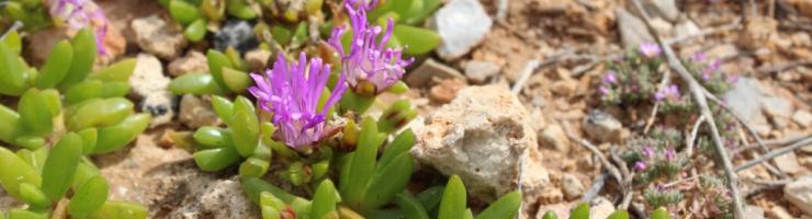 Disphyma crassifolia una de les plantes invasores que amenaça la flora autòctona