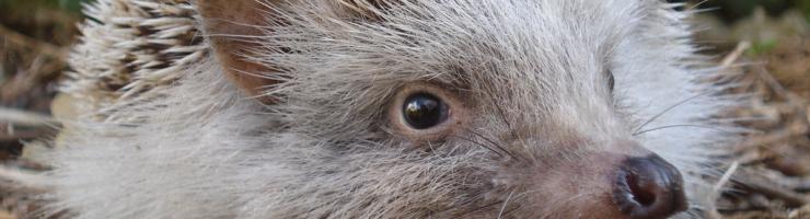 L'eriçó està adaptat a menjar tot tipus de petits animalons. Controla plagues.