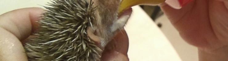 Jove eriçó orfe. Al Centre de Recuperació de Fauna s'atenen molts d'eriçons cada any.