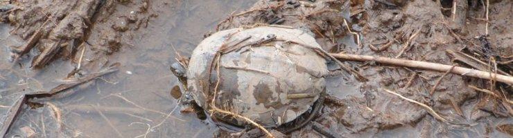 Les tortugues d'aigua han perdut el seu hàbitat.