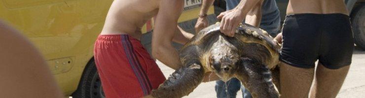 La tortuga marina tenia un ham clavat