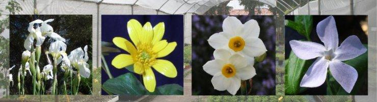 Ginjols blancs, gatasses, nadales i pruengues, algunes de les flors des Viver
