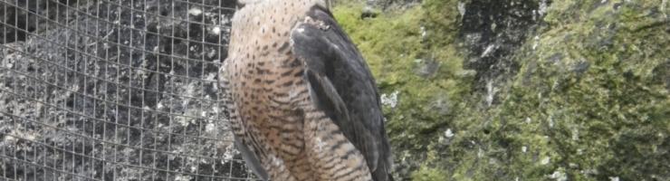 Falcó (Falco peregrinus) resident a l'hospital d'animals