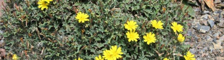 El socarrell ver és una planta exclusiva de les costes de Mallorca i Menorca