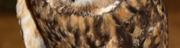 El mussol reial o banyut, un habitant de l'Hospital d'animals.