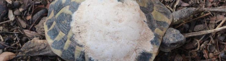 Tortuga recuperant-se d'un atropellament