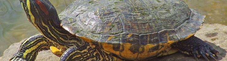 Tortuga de Florida, una espècie invasora a Menorca.