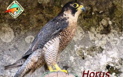 Horus, un falcó manxol per un accident de carretera