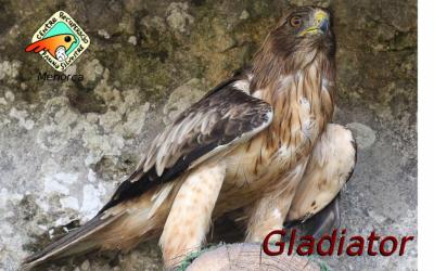 Gladiator, una àguila calçada que no pot caçar