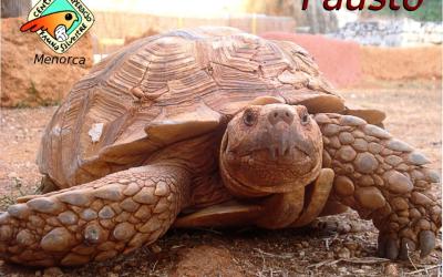 Fausto, una tortuga africana que vam salvar d'un atropellament