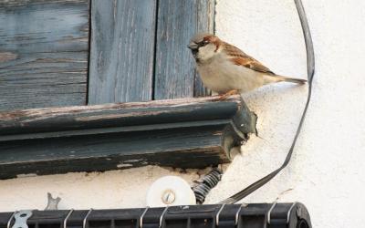 Pardal, mascle. L'ocell urbà per excel.lència, present tot l'any.