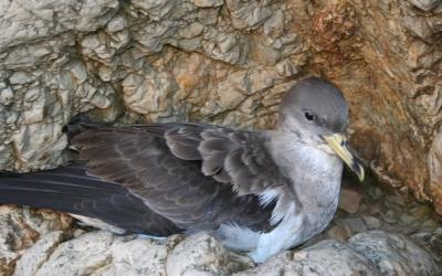 Els ocells marins, com la baldritja, es poden veure també seriosament afectats