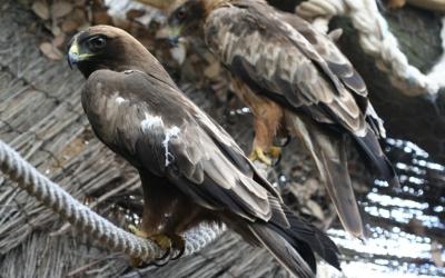 Aquesta àguila calçada ja vola en llibertat, després de ser recuperada al centre del GOB