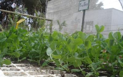 Planters de varietats de Menorca d'horta