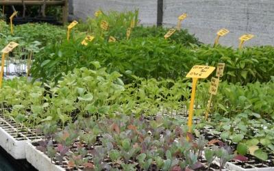 Es Viver ofereix planters ecològics de varietats locals d'horta