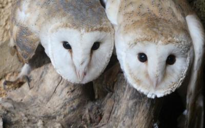 Parella d'òlibes residents al Centre de Recuperació de Fauna