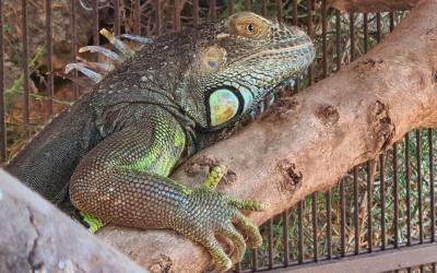 Igor, una iguana trobada perduda a Menorca