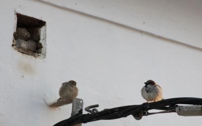 Parella de pardals, davant el forat de bastida on arrangen el niu