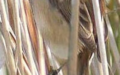Boscarla mostatxuda (Acrocephalus melanocephalon), espècie de conservació prioritària a Europa