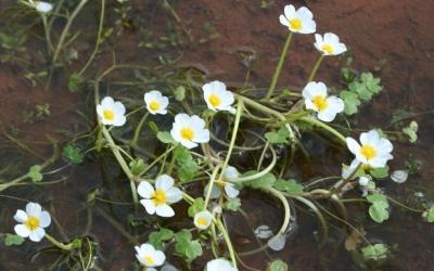 El botó d'aigua, una de les flors de les zones humides