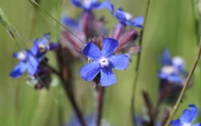 Llengua bovina, una flor dels camps de Menorca