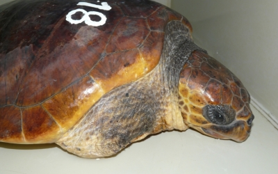 La tortuga amputada poc abans de ser alliberada