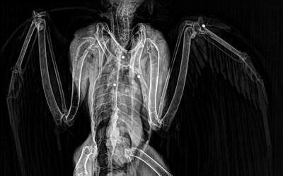 Radiografia on s'aprecien els perdigons i concretament el que va fracturar l'ala
