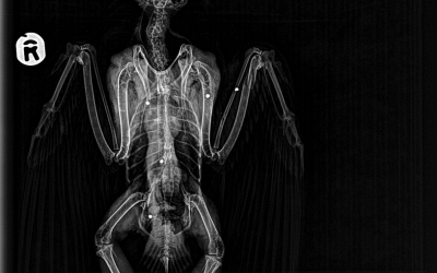 Radiografia on s'aprecien els perdigons i la fractura d'ala