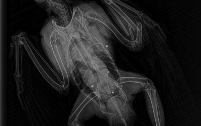 Radiografia on s'aprecien els perdigons i la fractura a l'ala