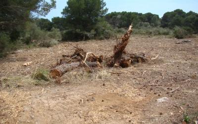 Les rabasses amb arrels, s'han deixat sobre el terreny
