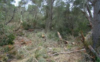 Concentracions de branques tallades i arbres ferits