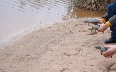 Alliberament de tortugues d'aigua