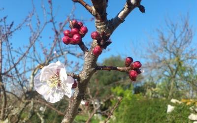 S'explicarà com empeltar els arbres de fruita
