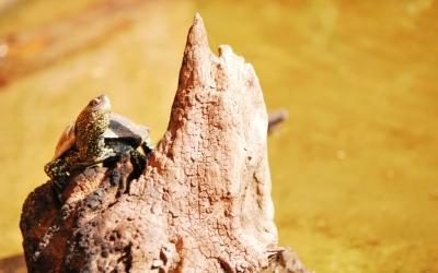 La tortuga d'aigua