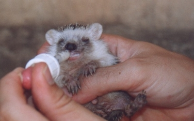 Cria d'eriçó orfe atès a l'hospital d'animals