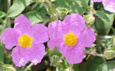 Estèperes, socarells, romaní... algunes de les plantes que es sembraran