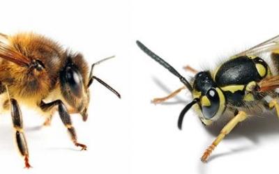 A l'esquerra, l'abella. A la dreta, la vespa