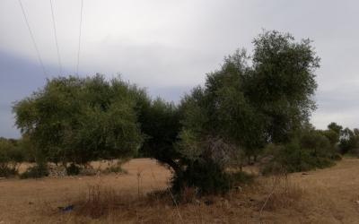 Ullastre adaptat a la producció i recollida d'olivó