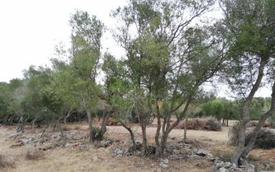 Aprofitament de filera d'ullastres per posar-los en producció d'olivó