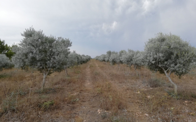 Oliveres gestionades amb maneig ecològic