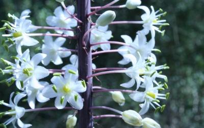 La ceba marina (Urginea maritima) és una de les plantes que està florida en aquest moment