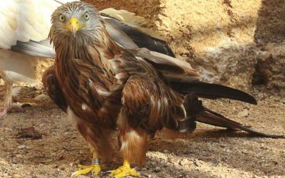 Milà resident al Centre de Recuperació de Fauna