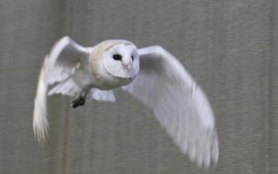 Òliba aprenent a volar i a caçar al Centre de Recuperació de Menorca
