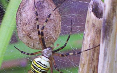 Aranya vespa, amb la seva ooteca